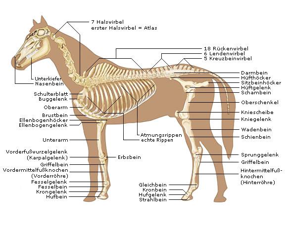 Pferde-Skelett: Der Knochenbau von Pferden